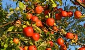 Apfelschnaps