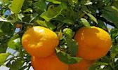 Orangenschnaps