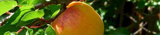 Aprikosenschnaps