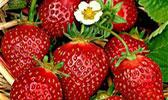 Erdbeerschnaps
